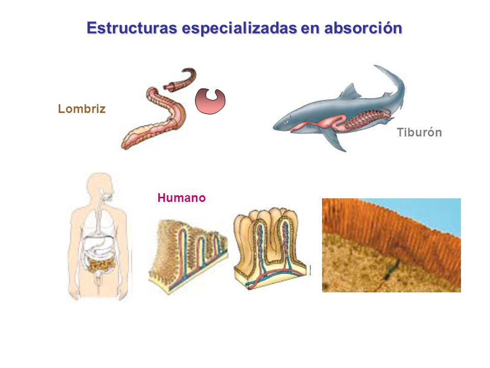 Estructuras especializadas en absorción Lombriz Tiburón Humano