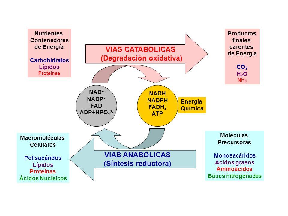 Nutrientes Contenedores de Energía Carbohidratos Lípidos Proteínas VIAS CATABOLICAS (Degradación oxidativa) Productos finales carentes de Energía CO 2