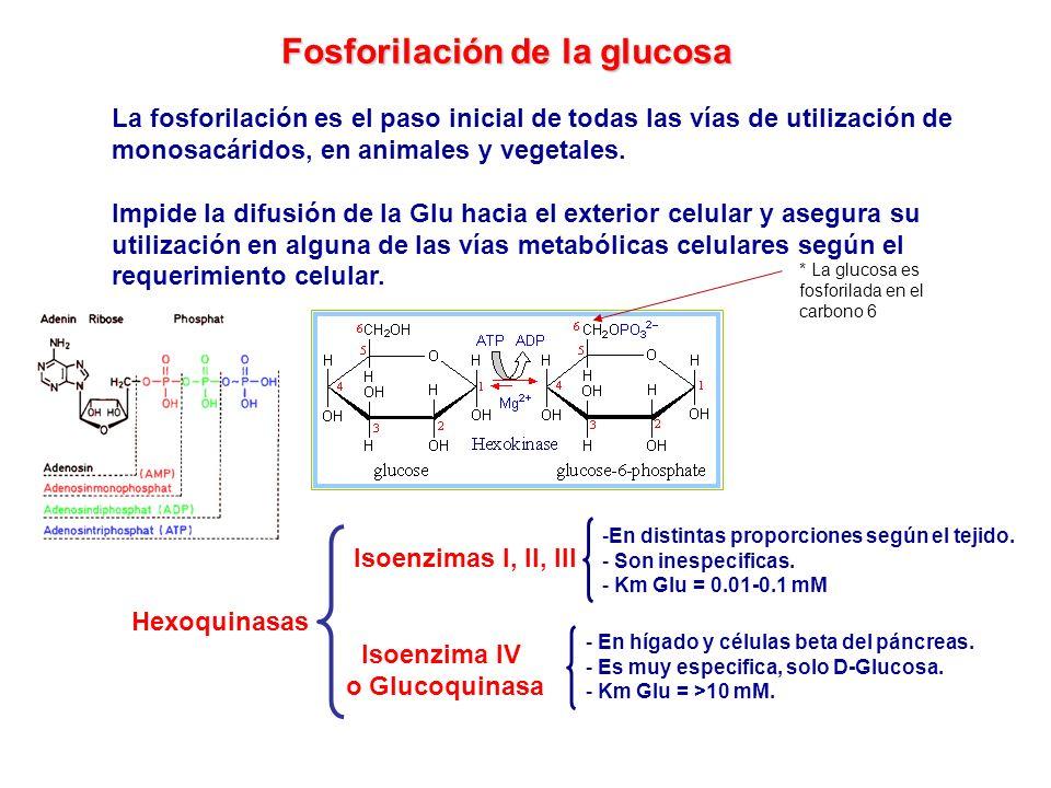 * La glucosa es fosforilada en el carbono 6 Fosforilación de la glucosa La fosforilación es el paso inicial de todas las vías de utilización de monosa