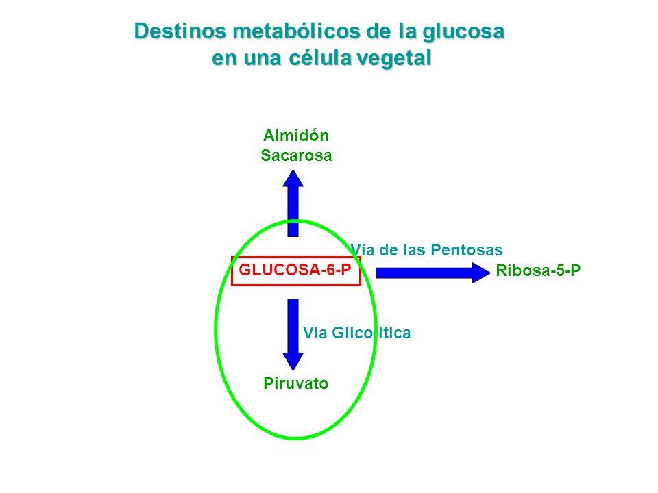 GLUCOSA-6-P Destinos metabólicos de la glucosa en una célula vegetal Almidón Sacarosa Via de las Pentosas Ribosa-5-P Piruvato Via Glicolitica