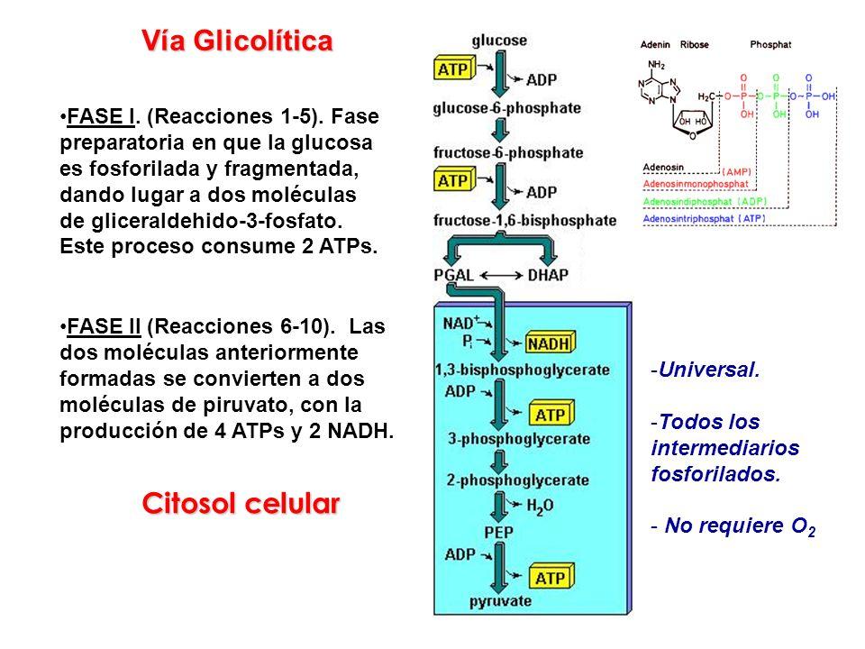 FASE I. (Reacciones 1-5). Fase preparatoria en que la glucosa es fosforilada y fragmentada, dando lugar a dos moléculas de gliceraldehido-3-fosfato. E