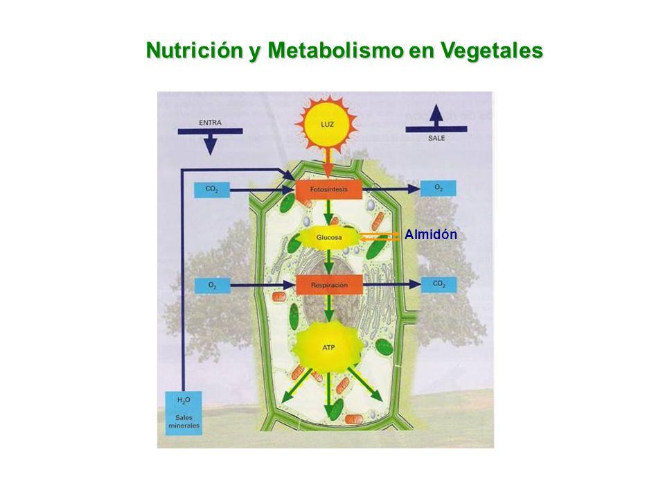 Nutrición y Metabolismo en Vegetales Almidón