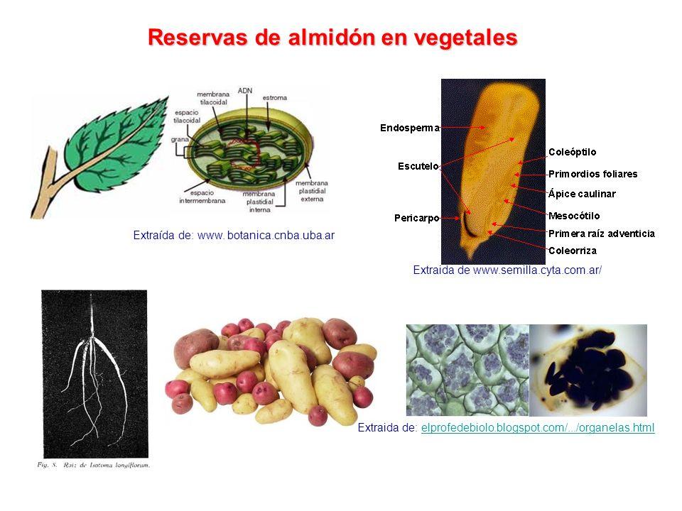 Reservas de almidón en vegetales Extraida de www.semilla.cyta.com.ar/ Extraida de: elprofedebiolo.blogspot.com/.../organelas.htmlelprofedebiolo.blogsp