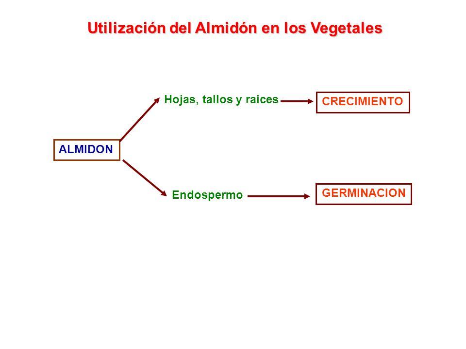 CRECIMIENTO ALMIDON Hojas, tallos y raices Endospermo GERMINACION Utilización del Almidón en los Vegetales