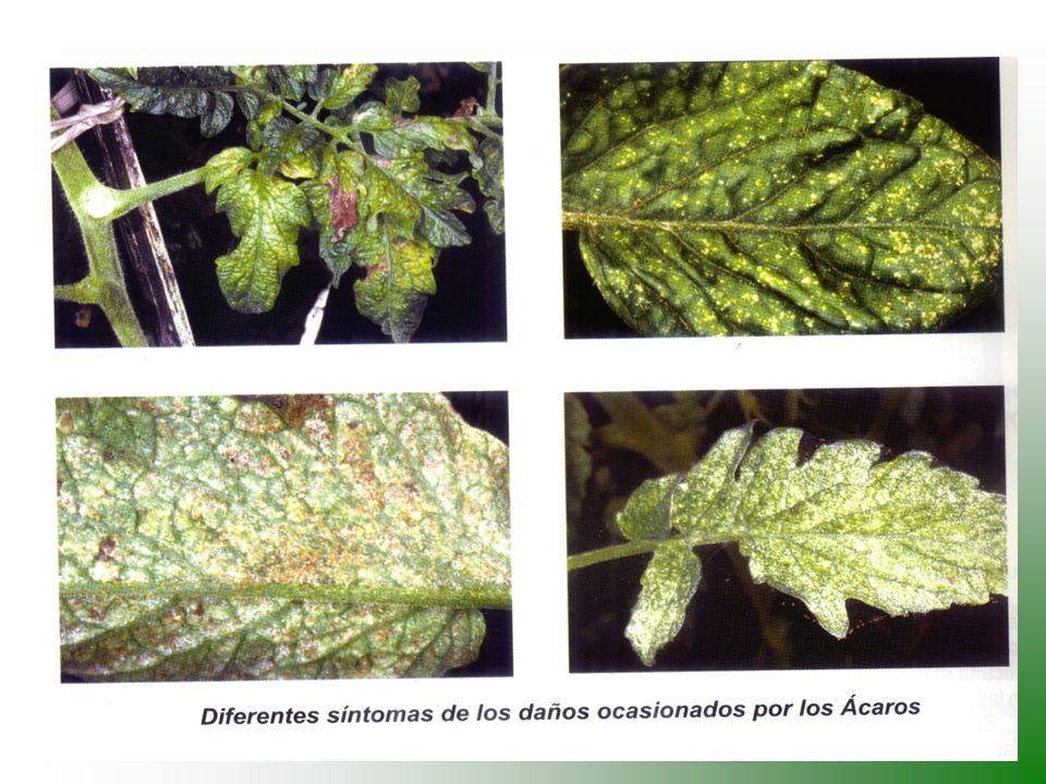 INSECTOS BENEFICOS (pulgones, trips, ácaros, cochinillas) hipodamia convergens Eriopis connexa Olla nigrum