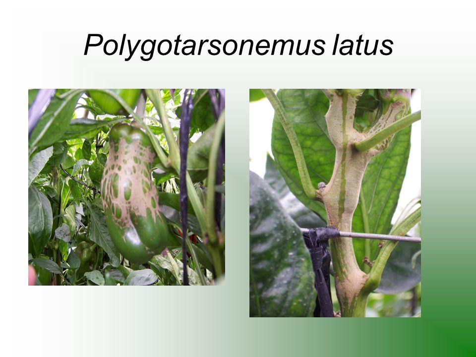 Podisus spp. (ataca a orugas en general succionándolas)