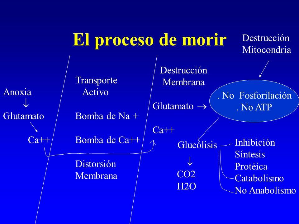 El proceso de morir Anoxia Glutamato Ca++ Transporte Activo Bomba de Na + Bomba de Ca++ Distorsión Membrana Destrucción Membrana Glutamato Ca++. No Fo