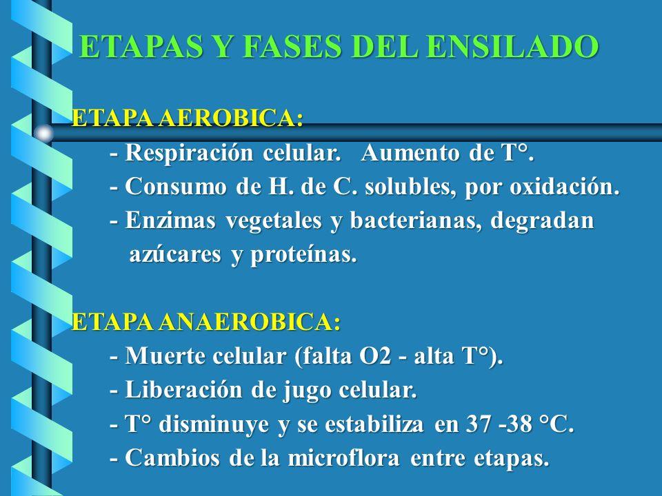 ETAPAS Y FASES DEL ENSILADO ETAPA AEROBICA: ETAPA AEROBICA: - Respiración celular. Aumento de T°. - Respiración celular. Aumento de T°. - Consumo de H