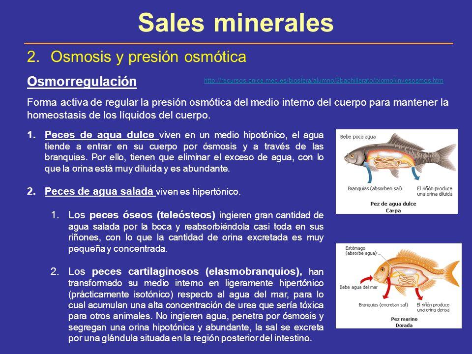 Sales minerales 2.Osmosis y presión osmótica Osmorregulación Forma activa de regular la presión osmótica del medio interno del cuerpo para mantener la