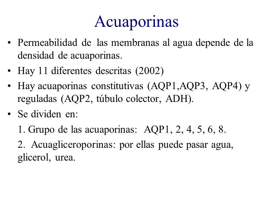 Acuaporinas Permeabilidad de las membranas al agua depende de la densidad de acuaporinas. Hay 11 diferentes descritas (2002) Hay acuaporinas constitut