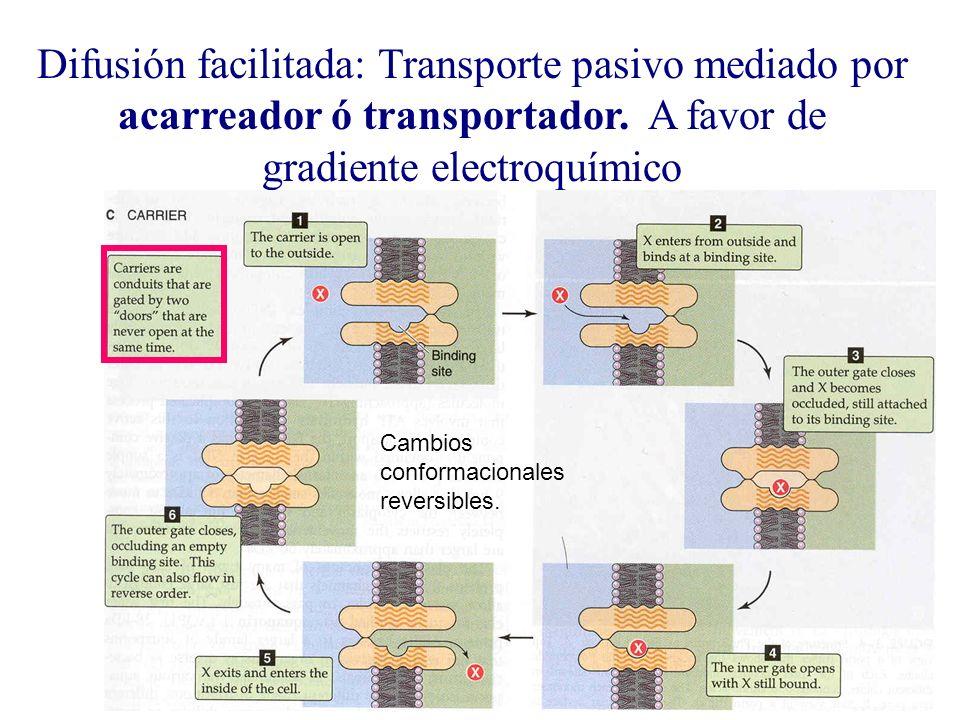 Difusión facilitada: Transporte pasivo mediado por acarreador ó transportador. A favor de gradiente electroquímico Cambios conformacionales reversible