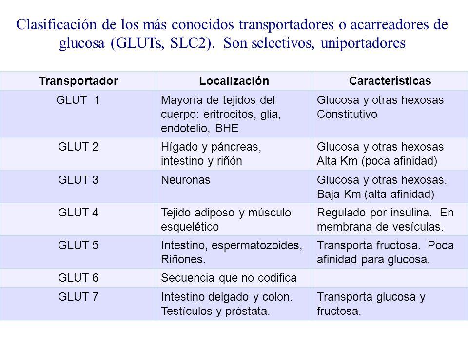 TransportadorLocalizaciónCaracterísticas GLUT 1Mayoría de tejidos del cuerpo: eritrocitos, glia, endotelio, BHE Glucosa y otras hexosas Constitutivo G