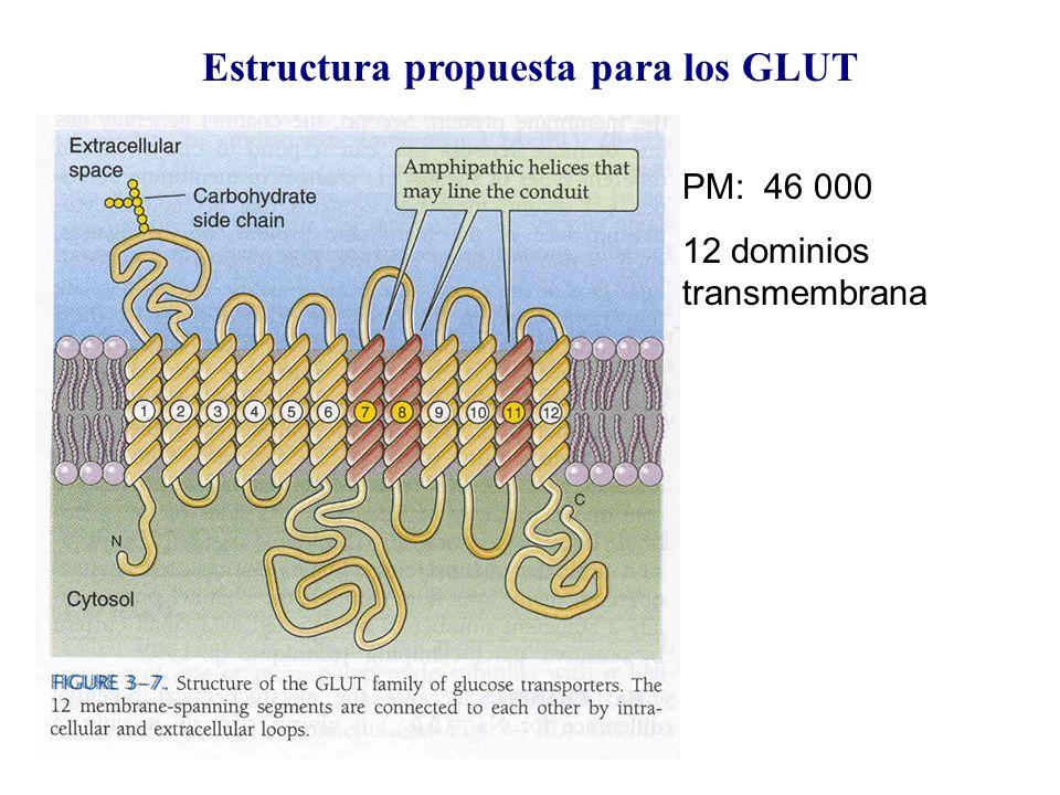 Estructura propuesta para los GLUT PM: 46 000 12 dominios transmembrana