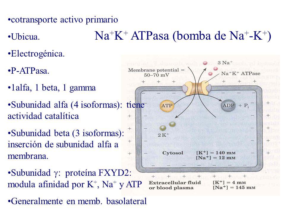 Na + K + ATPasa (bomba de Na + -K + ) cotransporte activo primario Ubicua. Electrogénica. P-ATPasa. 1alfa, 1 beta, 1 gamma Subunidad alfa (4 isoformas