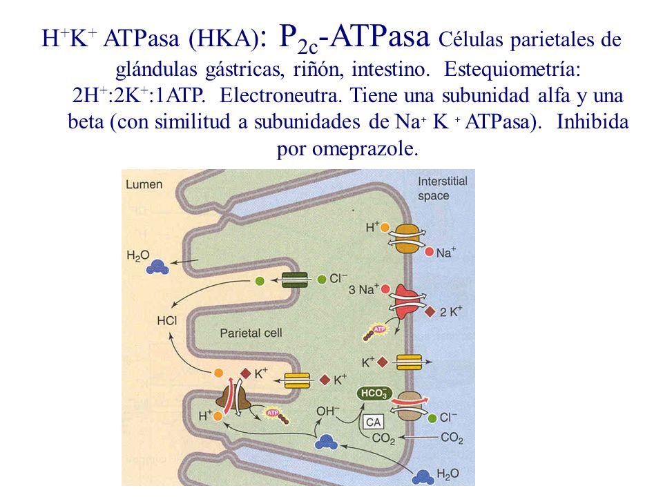 H + K + ATPasa (HKA) : P 2c -ATPasa Células parietales de glándulas gástricas, riñón, intestino. Estequiometría: 2H + :2K + :1ATP. Electroneutra. Tien