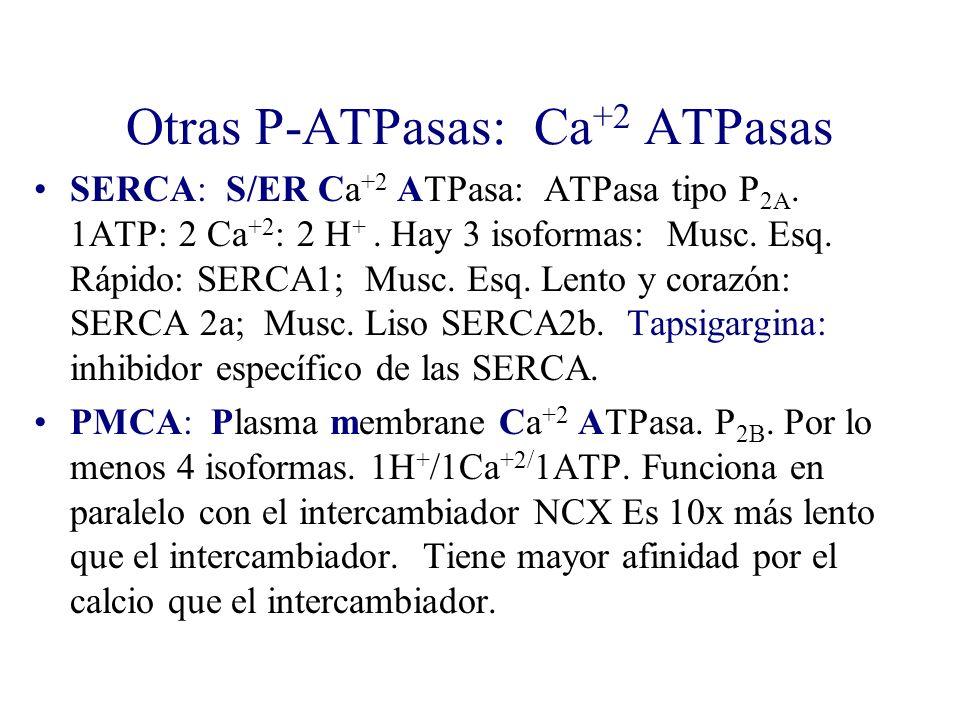Otras P-ATPasas: Ca +2 ATPasas SERCA: S/ER Ca +2 ATPasa: ATPasa tipo P 2A. 1ATP: 2 Ca +2 : 2 H +. Hay 3 isoformas: Musc. Esq. Rápido: SERCA1; Musc. Es