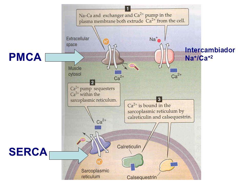 SERCA PMCA Intercambiador Na + /Ca +2