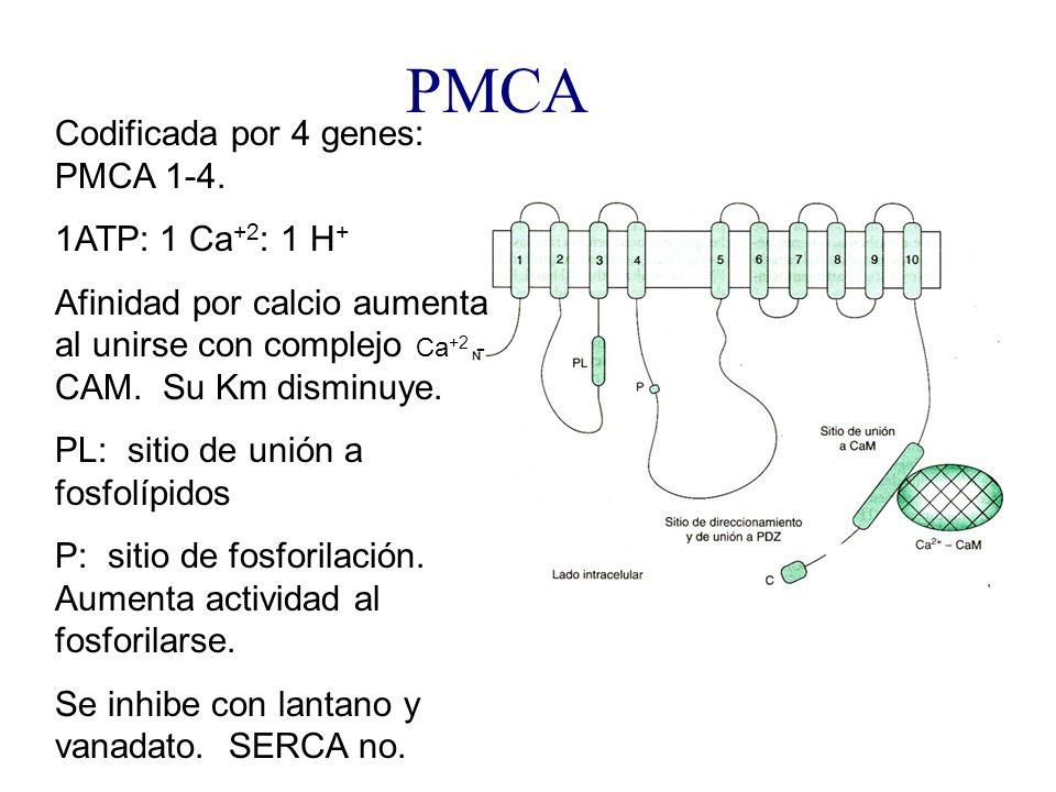 PMCA Codificada por 4 genes: PMCA 1-4. 1ATP: 1 Ca +2 : 1 H + Afinidad por calcio aumenta al unirse con complejo Ca +2 - CAM. Su Km disminuye. PL: siti