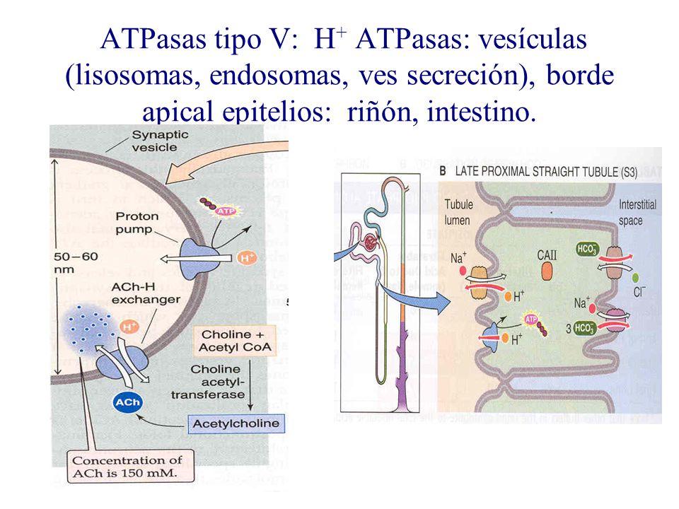 ATPasas tipo V: H + ATPasas: vesículas (lisosomas, endosomas, ves secreción), borde apical epitelios: riñón, intestino.