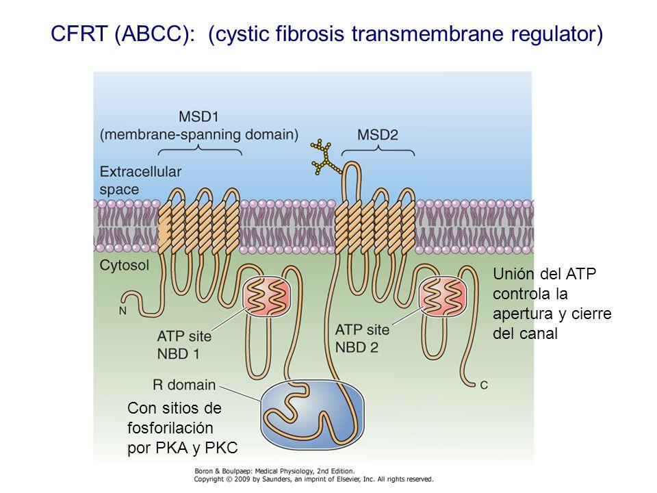 CFRT (ABCC): (cystic fibrosis transmembrane regulator) Con sitios de fosforilación por PKA y PKC Unión del ATP controla la apertura y cierre del canal