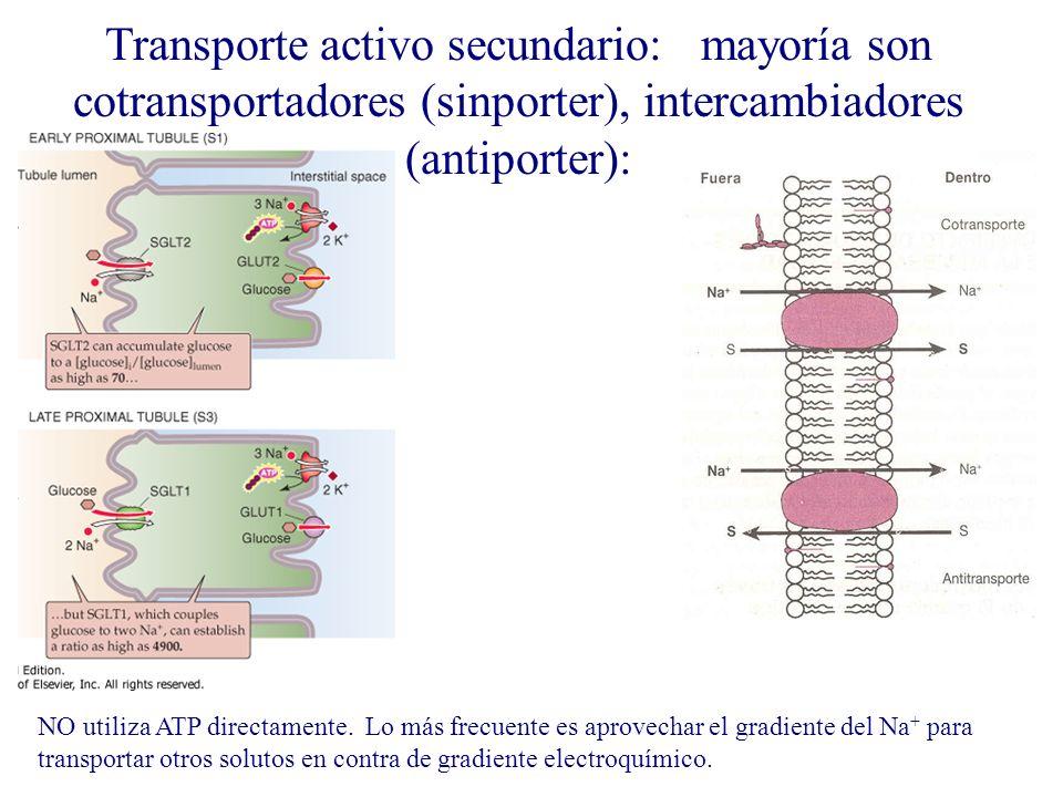 Transporte activo secundario: mayoría son cotransportadores (sinporter), intercambiadores (antiporter): NO utiliza ATP directamente. Lo más frecuente