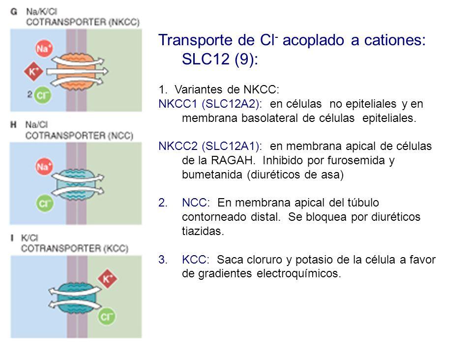 Transporte de Cl - acoplado a cationes: SLC12 (9): 1. Variantes de NKCC: NKCC1 (SLC12A2): en células no epiteliales y en membrana basolateral de célul