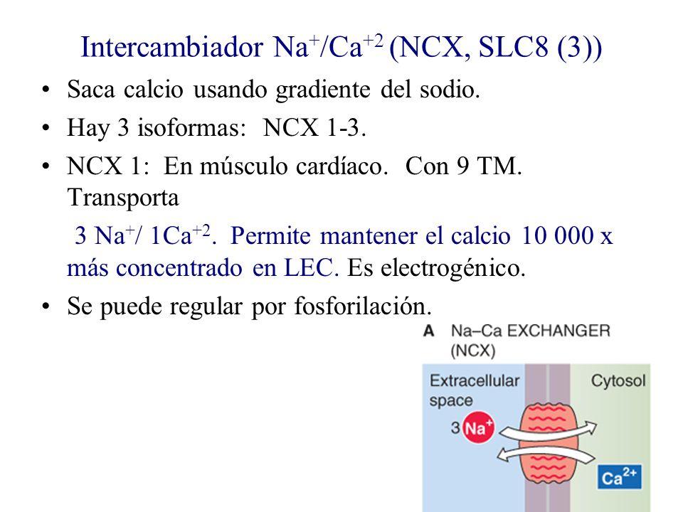Intercambiador Na + /Ca +2 (NCX, SLC8 (3)) Saca calcio usando gradiente del sodio. Hay 3 isoformas: NCX 1-3. NCX 1: En músculo cardíaco. Con 9 TM. Tra