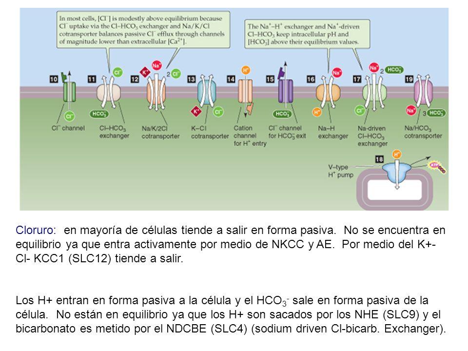 Cloruro: en mayoría de células tiende a salir en forma pasiva. No se encuentra en equilibrio ya que entra activamente por medio de NKCC y AE. Por medi