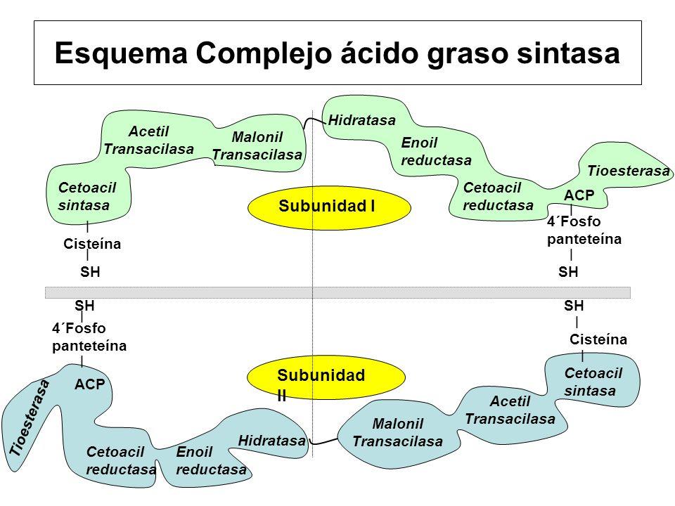 Cisteína Subunidad I 4´Fosfo panteteína Subunidad II Esquema Complejo ácido graso sintasa Enoil reductasa Hidratasa Acetil Transacilasa Cetoacil sinta