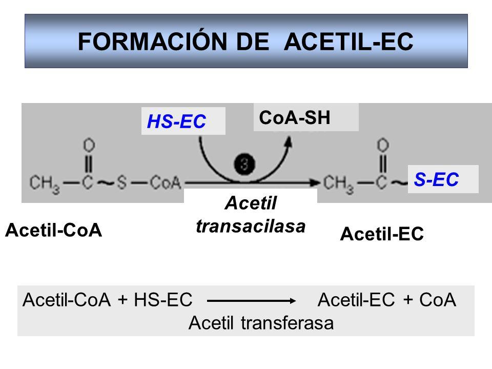FORMACIÓN DE ACETIL-EC Acetil-CoA Acetil-EC Acetil transacilasa HS-EC CoA-SH S-EC Acetil-CoA + HS-EC Acetil-EC + CoA Acetil transferasa