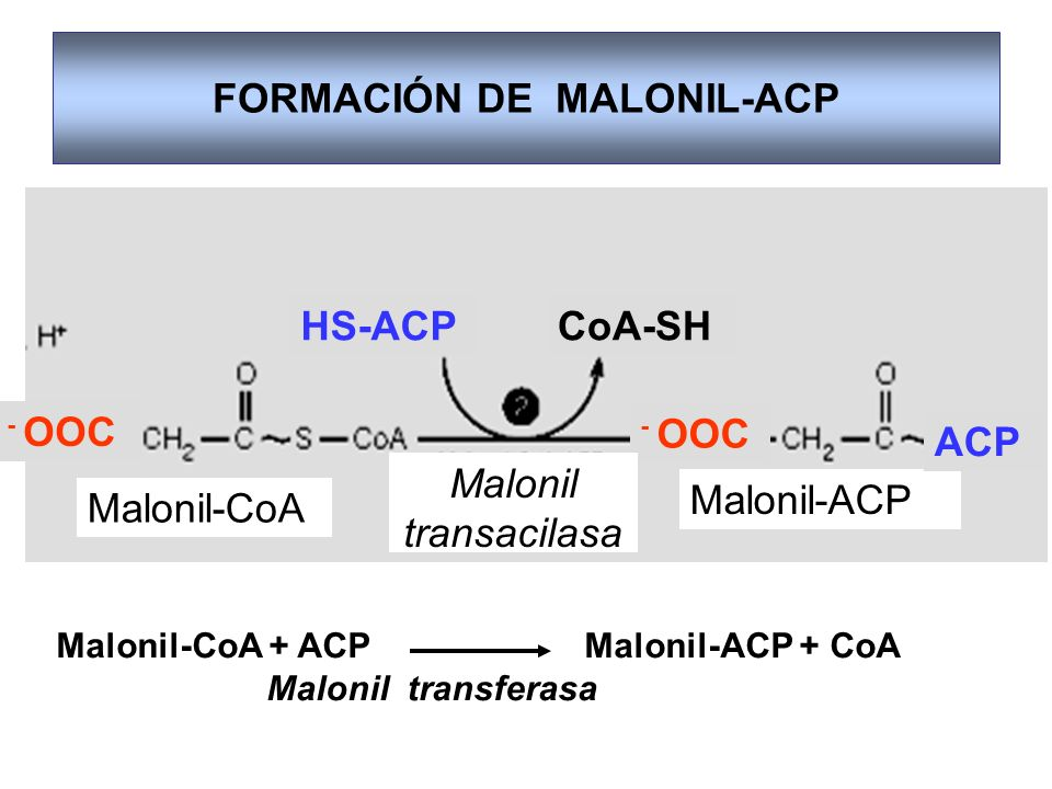 FORMACIÓN DE MALONIL-ACP - OOC Malonil-CoA Malonil-ACP Malonil transacilasa HS-ACP ACP CoA-SH Malonil-CoA + ACP Malonil-ACP + CoA Malonil transferasa