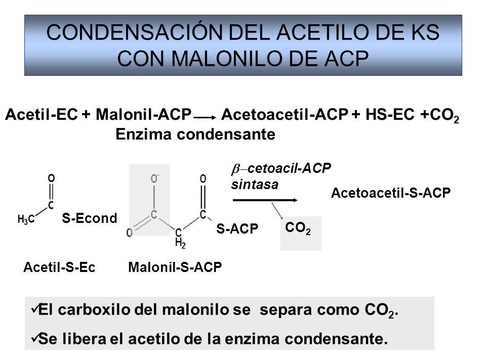 CONDENSACIÓN DEL ACETILO DE KS CON MALONILO DE ACP El carboxilo del malonilo se separa como CO 2. Se libera el acetilo de la enzima condensante. Aceti