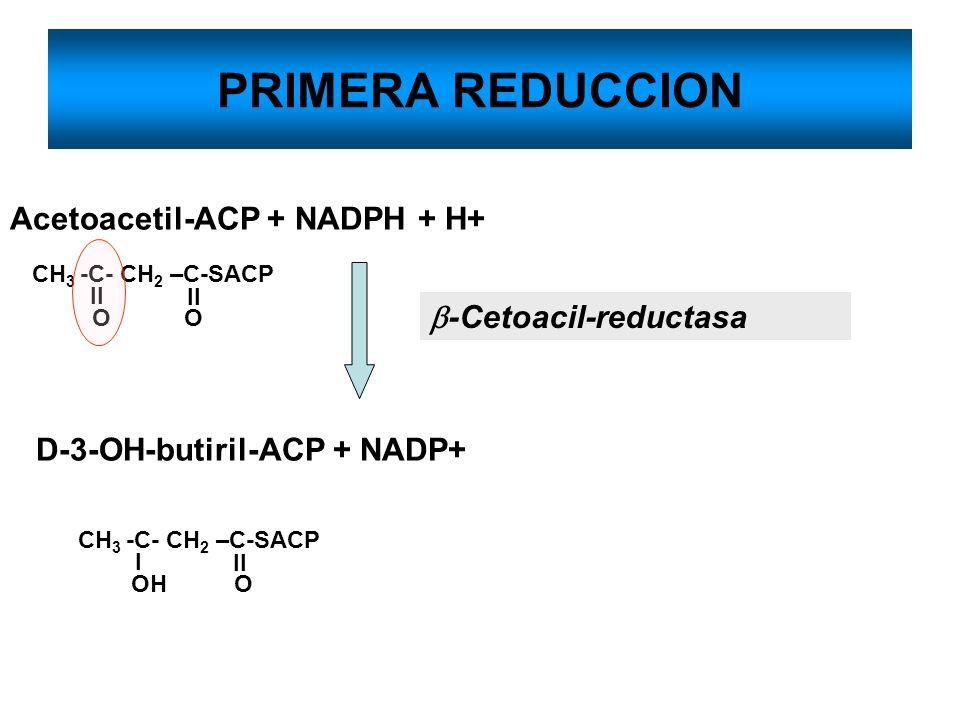 PRIMERA REDUCCION Acetoacetil-ACP + NADPH + H+ D-3-OH-butiril-ACP + NADP+ -Cetoacil-reductasa CH 3 -C- CH 2 –C-SACP O O ll CH 3 -C- CH 2 –C-SACP OH O