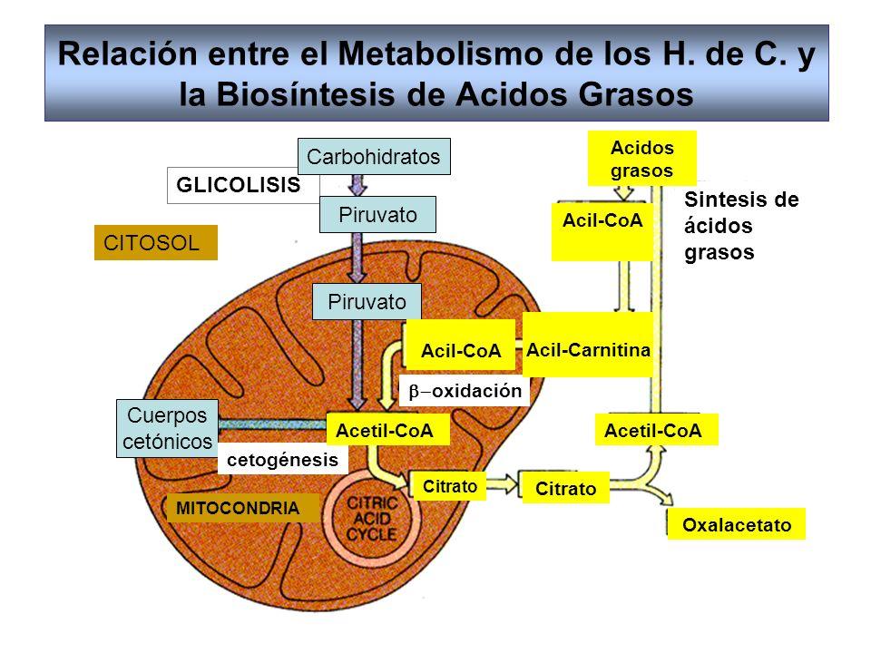 Relación entre el Metabolismo de los H. de C. y la Biosíntesis de Acidos Grasos CITOSOL GLICOLISIS Sintesis de ácidos grasos Carbohidratos Piruvato Cu