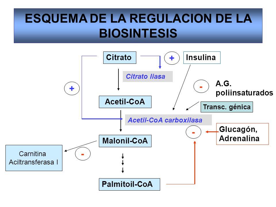 ESQUEMA DE LA REGULACION DE LA BIOSINTESIS Citrato Acetil-CoA Malonil-CoA Palmitoil-CoA Citrato liasa Acetil-CoA carboxilasa - Glucagón, Adrenalina +