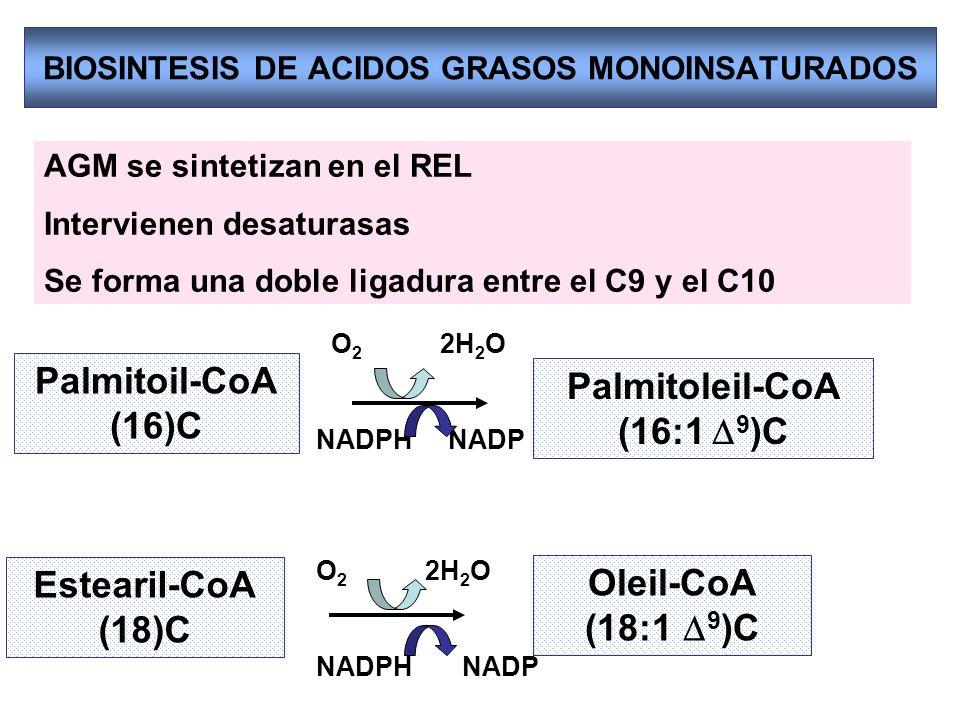 BIOSINTESIS DE ACIDOS GRASOS MONOINSATURADOS Estearil-CoA (18)C Oleil-CoA (18:1 9 )C Palmitoil-CoA (16)C Palmitoleil-CoA (16:1 9 )C AGM se sintetizan