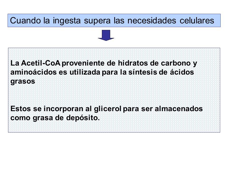 La Acetil-CoA proveniente de hidratos de carbono y aminoácidos es utilizada para la síntesis de ácidos grasos Estos se incorporan al glicerol para ser