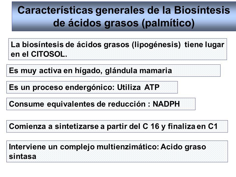 Características generales de la Biosíntesis de ácidos grasos (palmítico) La biosíntesis de ácidos grasos (lipogénesis) tiene lugar en el CITOSOL. Es u