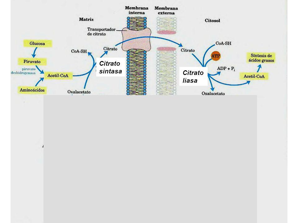 Los C15 y C16 del Ac.Palmítico provienen de ACETIL-CoA y los restantes de MALONIL-CoA CH 3 -CH 2 -CH 2 -CH 2 -CH 2 -CH 2 -CH 2 -CH 2 -CH 2 -CH 2 -CH 2 -CH 2 -CH 2 -CH 2 -CH 2 -COOH 11314 1516 91011125678234 Acetil- CoA Malonil-CoA