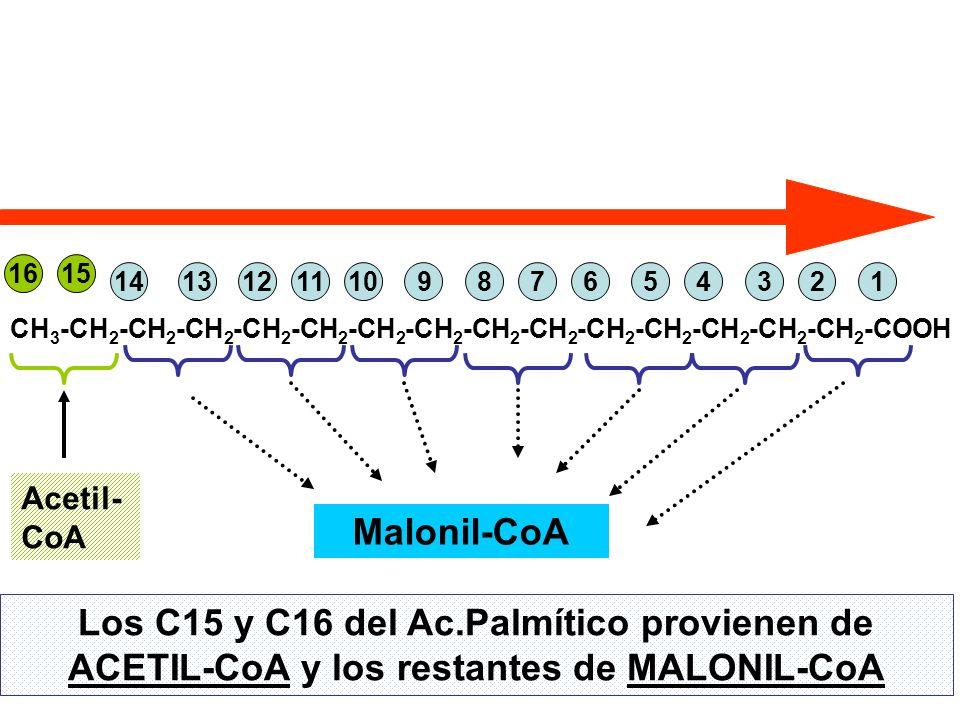Los C15 y C16 del Ac.Palmítico provienen de ACETIL-CoA y los restantes de MALONIL-CoA CH 3 -CH 2 -CH 2 -CH 2 -CH 2 -CH 2 -CH 2 -CH 2 -CH 2 -CH 2 -CH 2