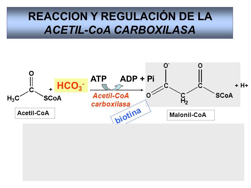 REACCION Y REGULACIÓN DE LA ACETIL-CoA CARBOXILASA Acetil-CoA Acetil-CoA carboxilasa Malonil-CoA + + H+ Acetil-CoA carboxilasa biotina Dímero Forma fi