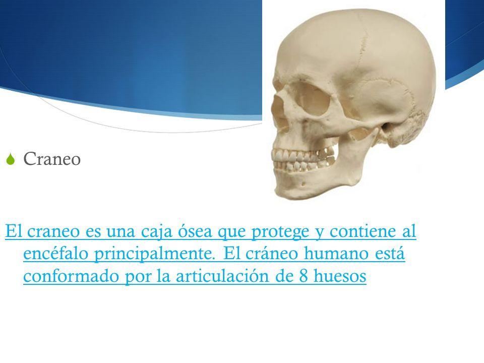 Craneo El craneo es una caja ósea que protege y contiene al encéfalo principalmente. El cráneo humano está conformado por la articulación de 8 huesos
