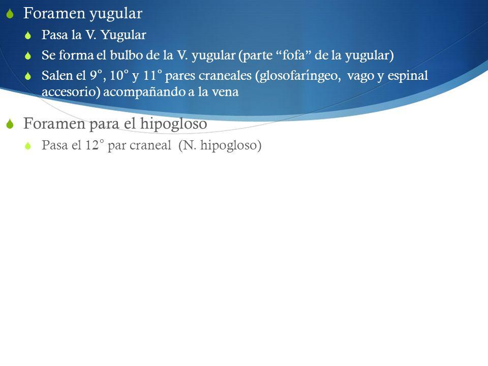 Foramen yugular Pasa la V. Yugular Se forma el bulbo de la V. yugular (parte fofa de la yugular) Salen el 9°, 10° y 11° pares craneales (glosofaríngeo