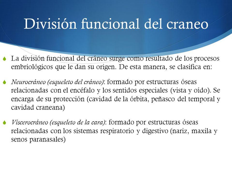 División funcional del craneo La división funcional del cráneo surge como resultado de los procesos embriológicos que le dan su origen. De esta manera
