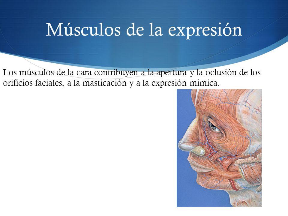 Músculos de la expresión Los músculos de la cara contribuyen a la apertura y la oclusión de los orificios faciales, a la masticación y a la expresión