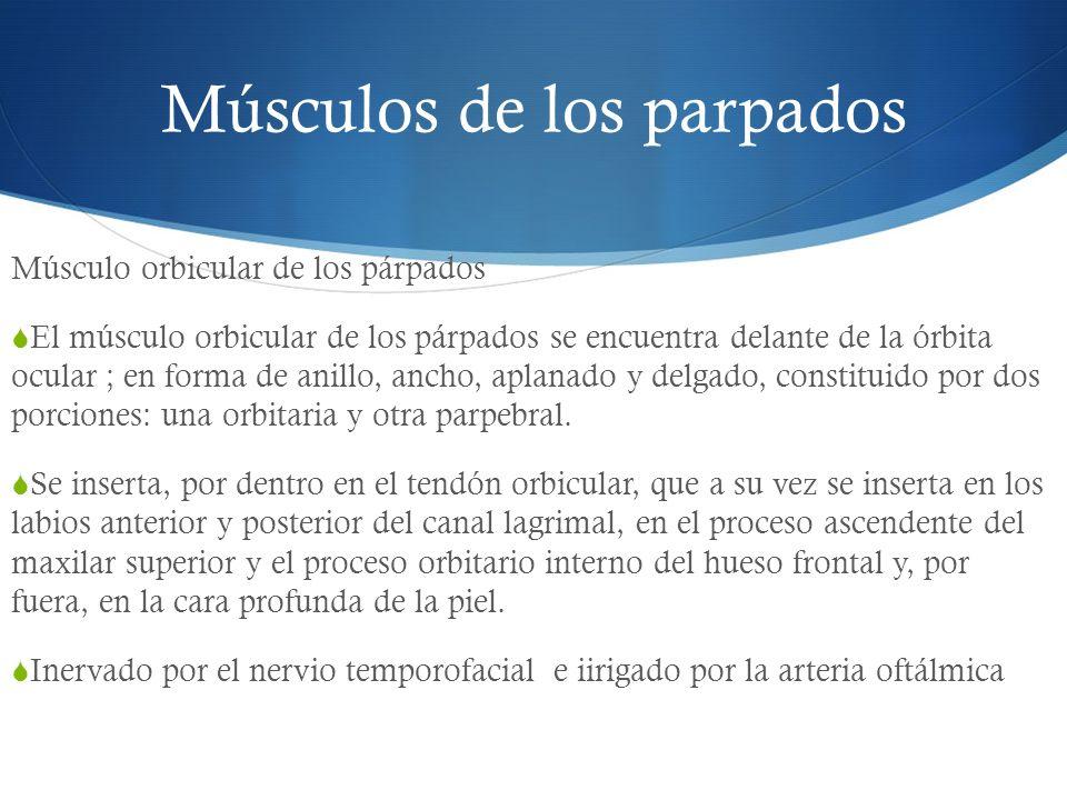 Músculos de los parpados Músculo orbicular de los párpados El músculo orbicular de los párpados se encuentra delante de la órbita ocular ; en forma de