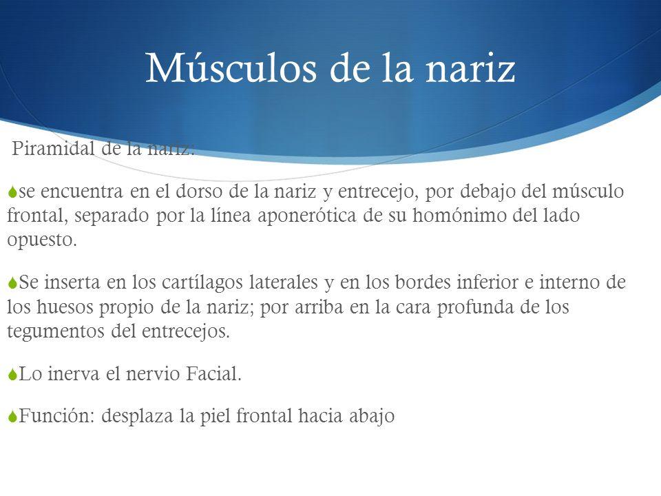 Músculos de la nariz Piramidal de la nariz: se encuentra en el dorso de la nariz y entrecejo, por debajo del músculo frontal, separado por la línea ap