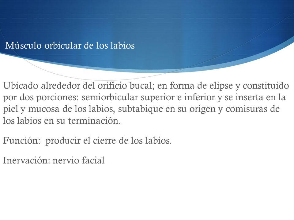 Músculo orbicular de los labios Ubicado alrededor del orificio bucal; en forma de elipse y constituido por dos porciones: semiorbicular superior e inf