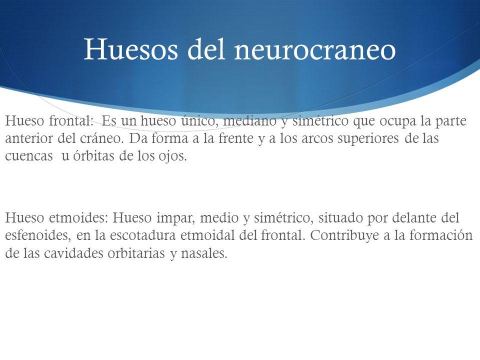 Huesos del neurocraneo Hueso frontal: Es un hueso único, mediano y simétrico que ocupa la parte anterior del cráneo. Da forma a la frente y a los arco