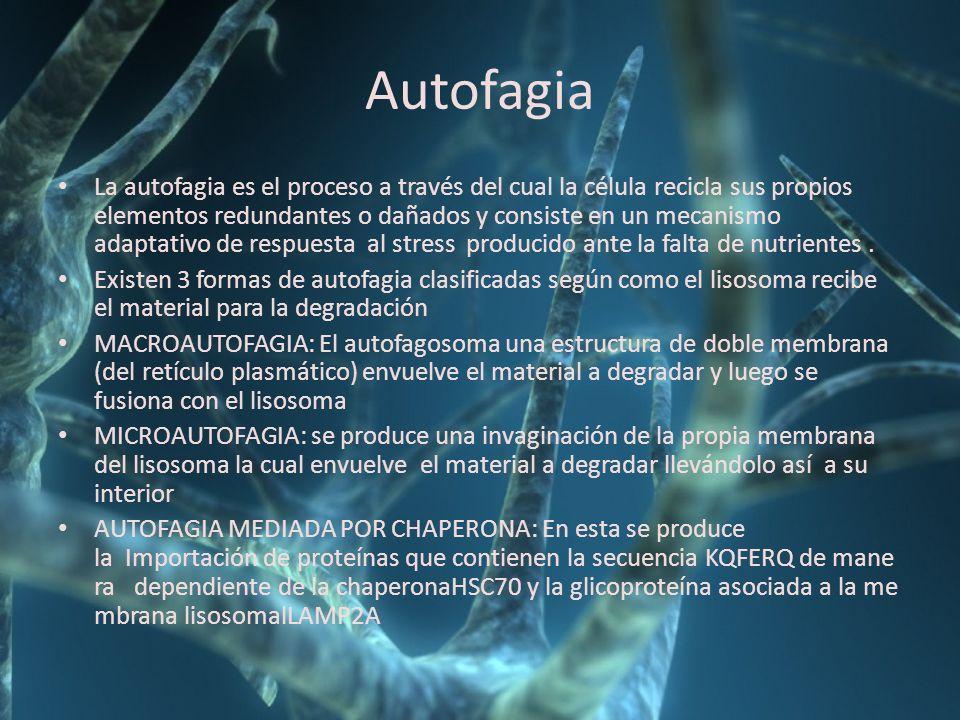 Autofagia La autofagia es el proceso a través del cual la célula recicla sus propios elementos redundantes o dañados y consiste en un mecanismo adapta